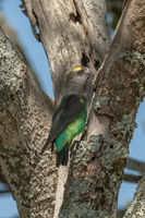 Brown parrot pecks at lichen-covered tree trunk