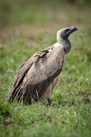 White-backed vulture on grassy plain looking up