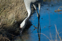 Common crane (Grus grus) searching for food in a lagoon. Gallocanta Lagoon Natural Reserve. Aragon. Spain.