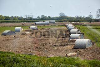 The pig farm in Devon. England