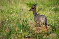 Kirk dik-dik with turned head in grass