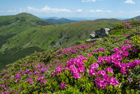 Blossoming slopes (rhododendron flowers ) of Carpathian mountains.