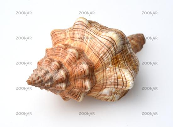Meeresschnecke, Astraea