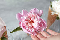 Beautiful tender pink peony flower at a woomans hands with sweet waffle cones on a gray stone background.