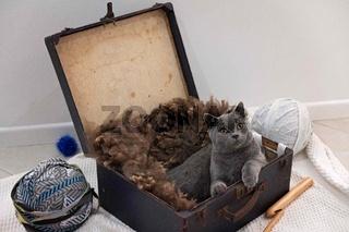 British Short Hair Kitten In A Suitcase