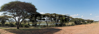 Acacia forest on the bank of the Chobe River in Botswana.jpg