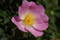 Rosa canina, Hundsrose, Dogrose