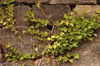 Efeu an einer Sandsteinmauer