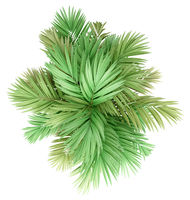 golden cane palm tree isolated on white background. top view. 3d illustration
