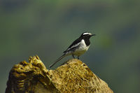 White-browed wagtail, Motacilla maderaspatensis standing on driftwood, Pune, Maharashtra, India