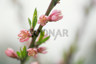 Flowers peaches