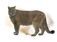 Florida panther or cougar watercolor