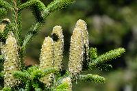 fir cones Tannenzapfen