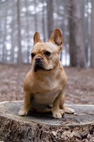 Young Male Frenchie Sitting on a Forest Floor.