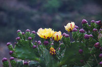 Yellow cactus flower. Lobesa. Punakha District of Bhutan