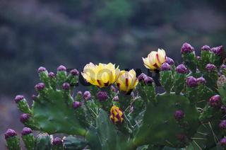 Yellow cactus flower. Lobesa. Punakha District of Bhutan