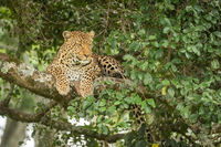 Leopard lies staring right from lichen-covered branch