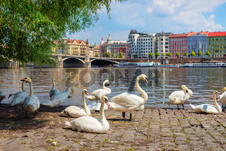 Dancing House and swans
