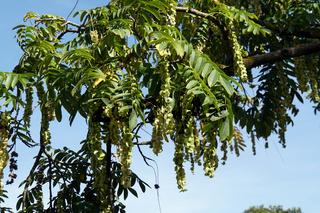 Kaukasische Flügelnuss (Pterocarya fraxinifolia) - Fruchtstand und Blätter