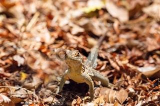 common collared iguanid lizard, madagascar