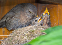 Blackbird feeding its babies in the nest