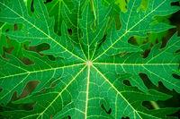papaya leaf close up