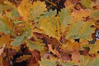 Blätter einer Stileiche