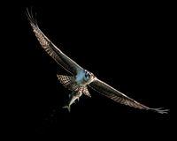 Osprey Catch VIII