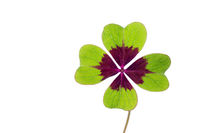 Four-leaf isolated clover on white background