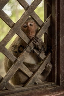 Long-tailed macaque looks mournfully through wooden trellis