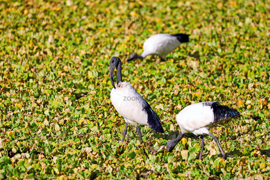 Heilige Ibisse iim Wasser im South Luangwa Nationalpark, Sambia, (threskiornis aethiopicus) |  African Sacred Ibis in the water at South Luangwa National Park, Zambia, (threskiornis aethiopicus)