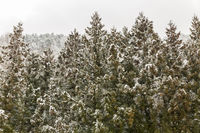 Pine Forest Winter Landscape