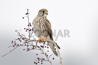 interessierter Blick... Turmfalke * Falco tinnunculus * auf seiner Sitzwarte zwischen Mehlbeeren