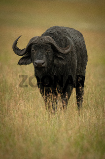 Cape buffalo stands facing camera in grassland