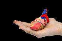 Hand holding human heart model on black background