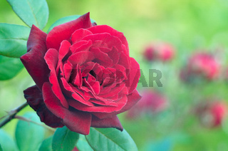 Still life of Background of beautiful red roses.  Рoses on a green background, in the rose garden.