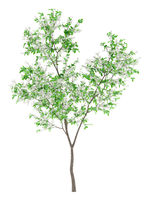flowering orange tree isolated on white background. 3d illustration