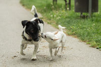A Jack Russel and a Chihuahua play together