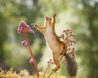red squirrel is reaching out between Bergenia