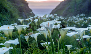Calla Lily Valley in bloom.