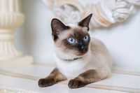 two color cat without tail Mekong Bobtail breed with jewel precious necklace of pearls around neck. Cat And necklace. Blue eyed Female Cat of Breed Mekong Bobtail, Sitting with gems on the neck