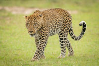 Male leopard crosses short grass curling tail