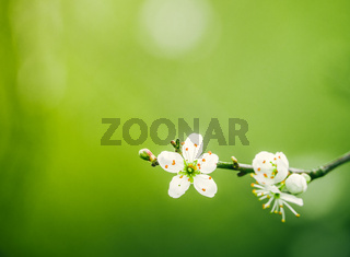 Tree Blossom With Copy Space
