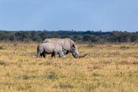 baby of white rhinoceros Botswana, Africa