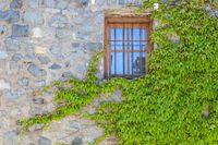 Window with wild wine