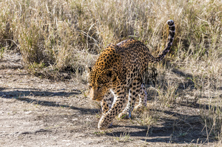 Spotted leopard among the dry savanna