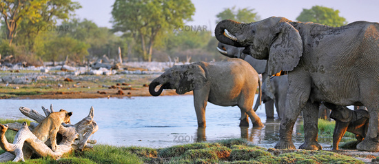 Löwe beobachtet Elefantenherde, Etosha-Nationalpark, Namibia, (Loxodonta africana)   Lion watching elephants, Etosha National Park, Namibia, (Loxodonta africana)