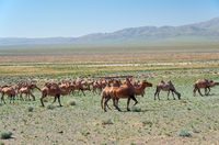 Bactrian camels in mongolian stone desert in Mongolia.