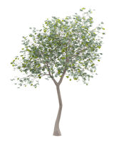 olive tree with olives isolated on white background