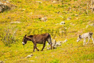 A donkey and her donkey in a meadow in the mountains